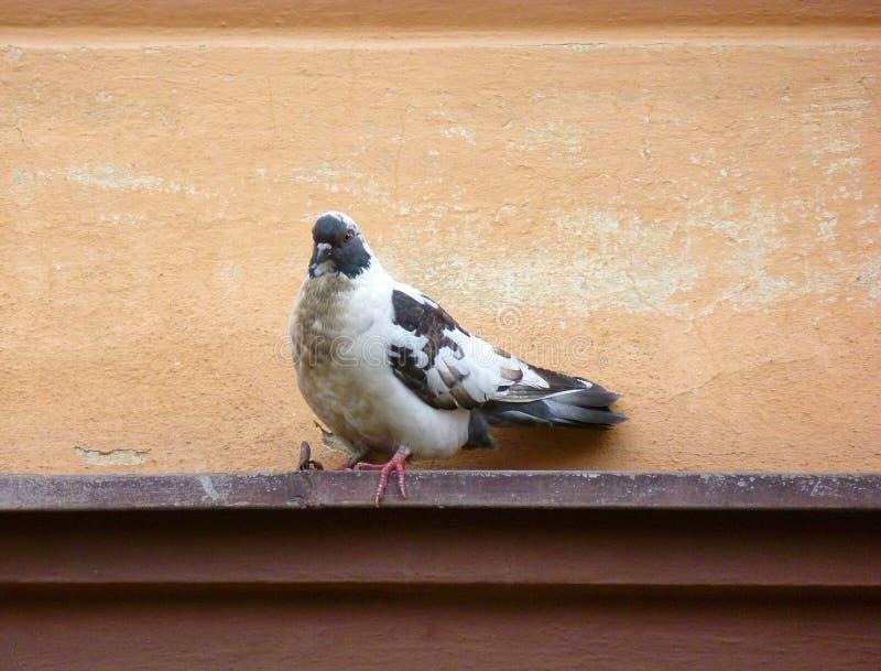 Pigeon chiné se reposant sur un rebord photographie stock