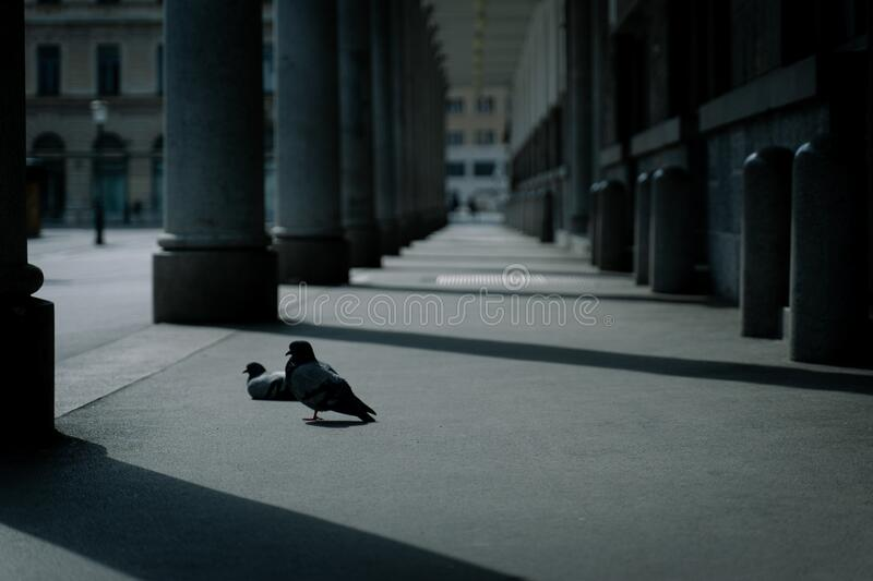 Pigeon in the city center. Alone empty stock images