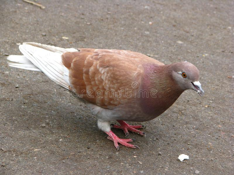 A pigeon in the city stock photo