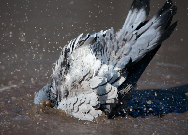 Pigeon cleans its feathers stock image