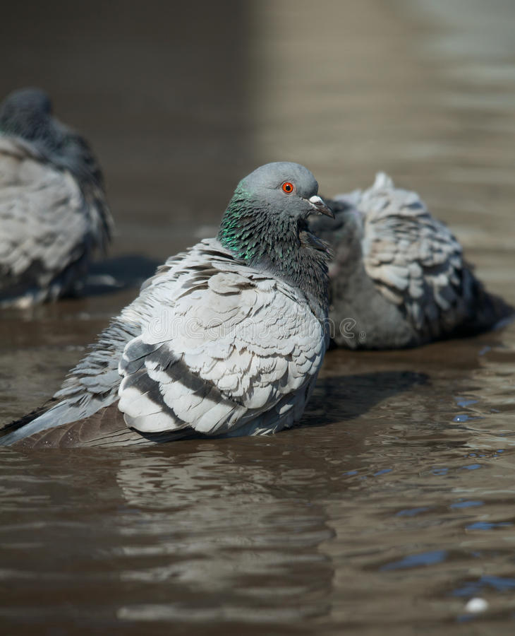Pigeon cleans its feathers royalty free stock photo