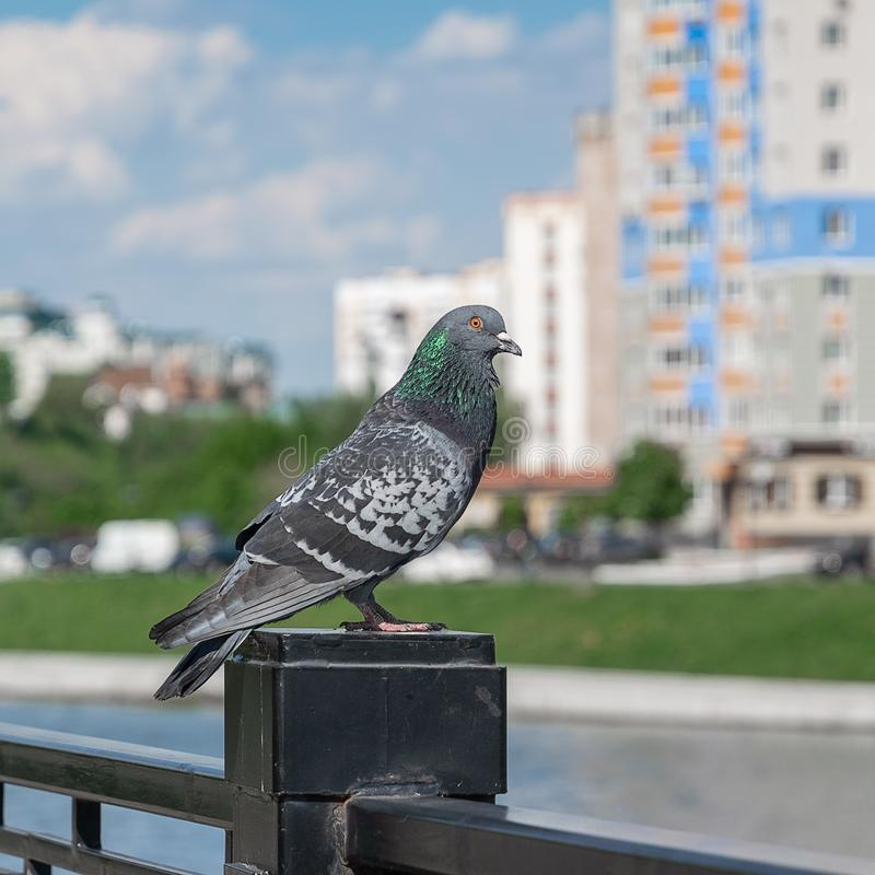 Pigeon close-up sitting on the railing of the bridge in the city, blur in the background royalty free stock photo