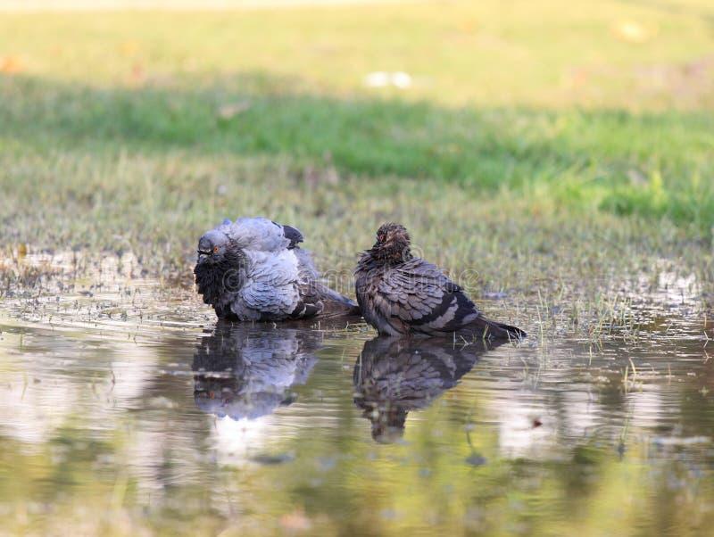 Pigeon, colomba livia f domestica images stock