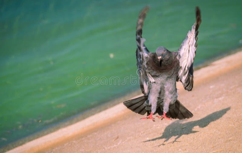 Pigeon coloré sur l'herbe images libres de droits