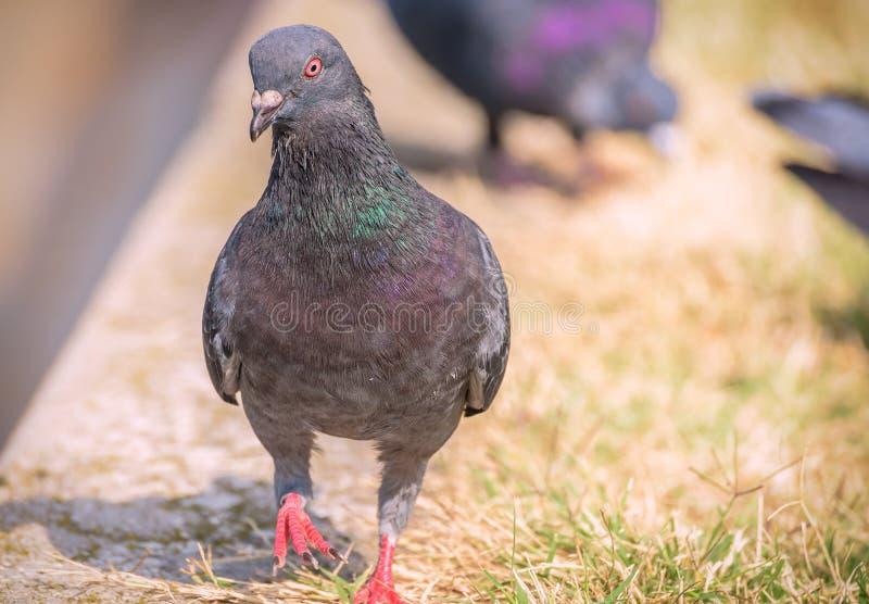 Pigeon coloré sur l'herbe photos stock