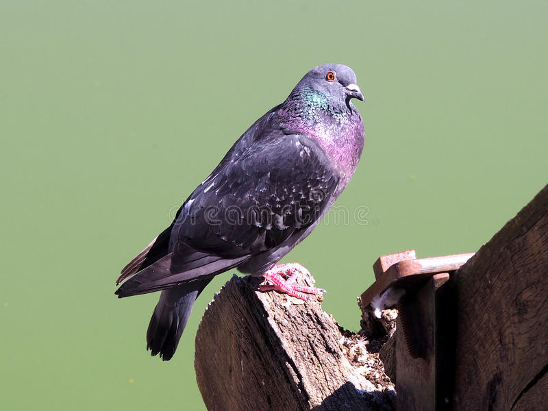 Pigeon. Colored pigeon posed on a piece of wood stock images