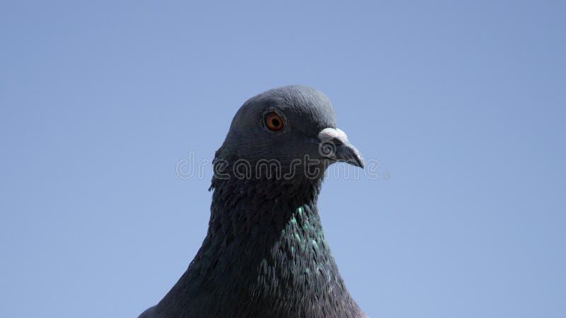 Pigeon commun regardant fixement dans la caméra image libre de droits