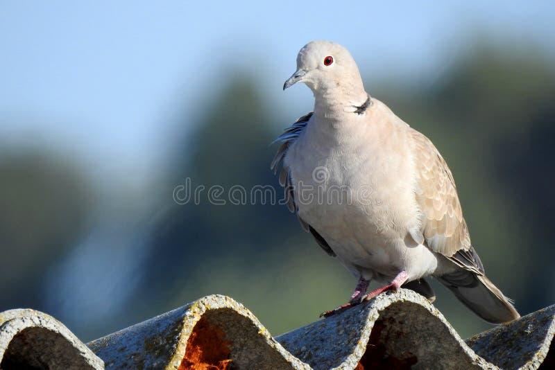 Pigeon commun sur le dessus de toit images libres de droits
