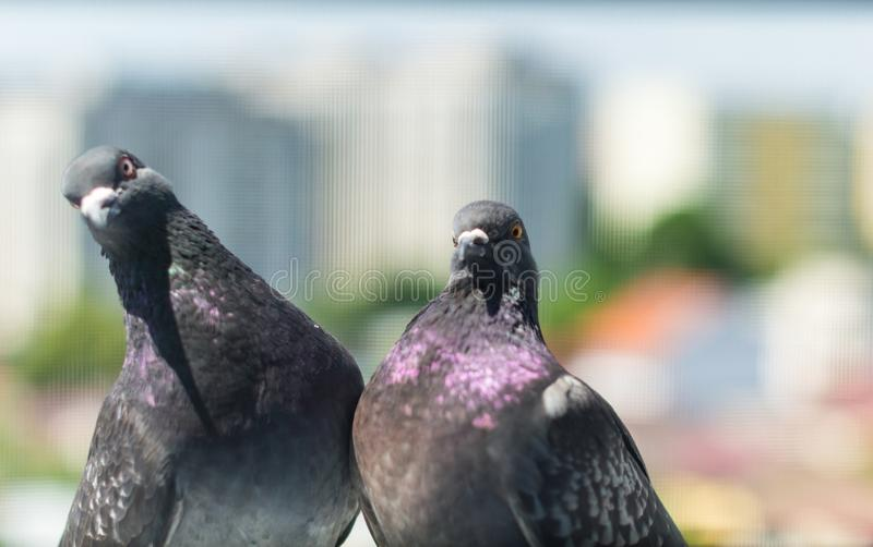 Pigeon Couple `Columba livia domestica` stock images