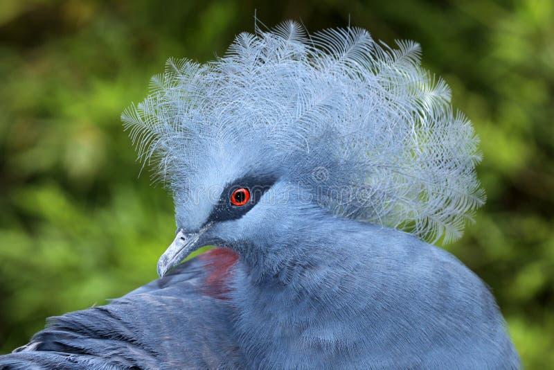 Pigeon couronné photographie stock libre de droits