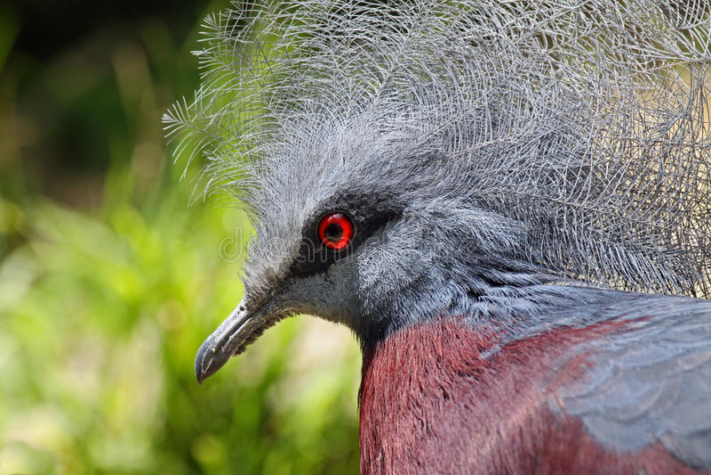 Pigeon couronné photo stock