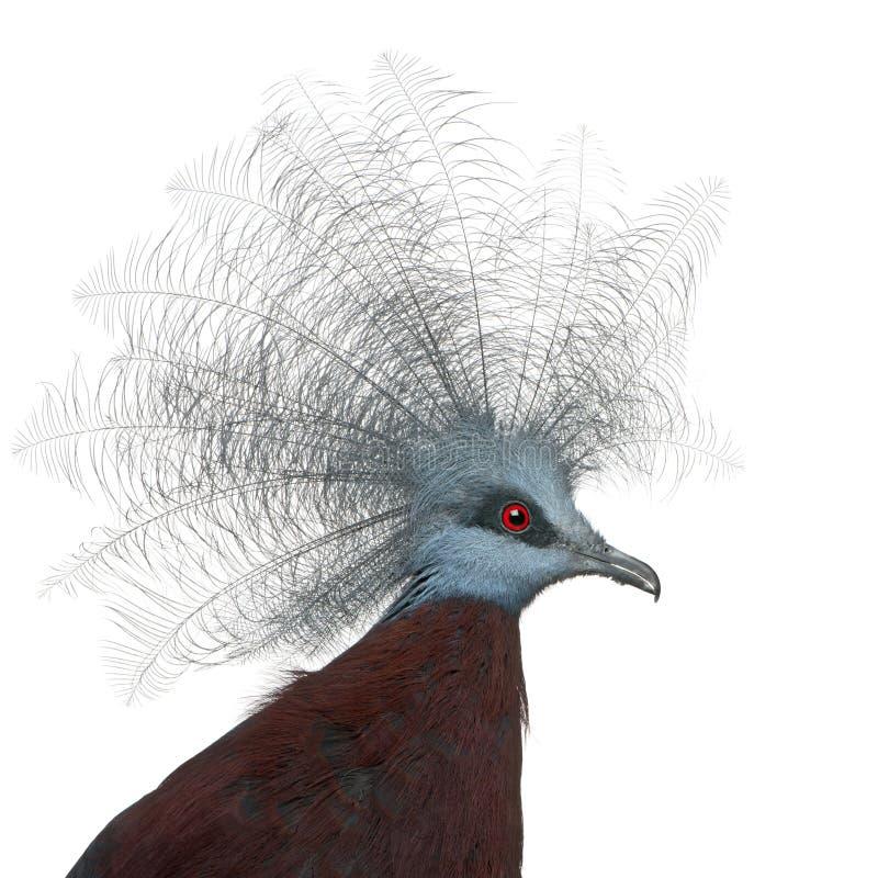 Pigeon couronné du sud, scheepmakeri de Goura photos libres de droits