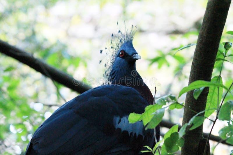 Pigeon couronné par victorian exotique au règne animal photo libre de droits