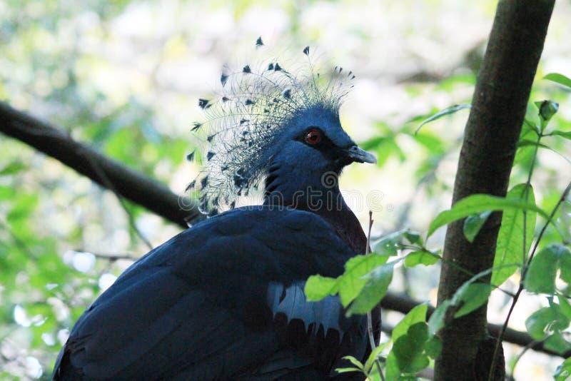 Pigeon couronné par victorian exotique au règne animal image libre de droits