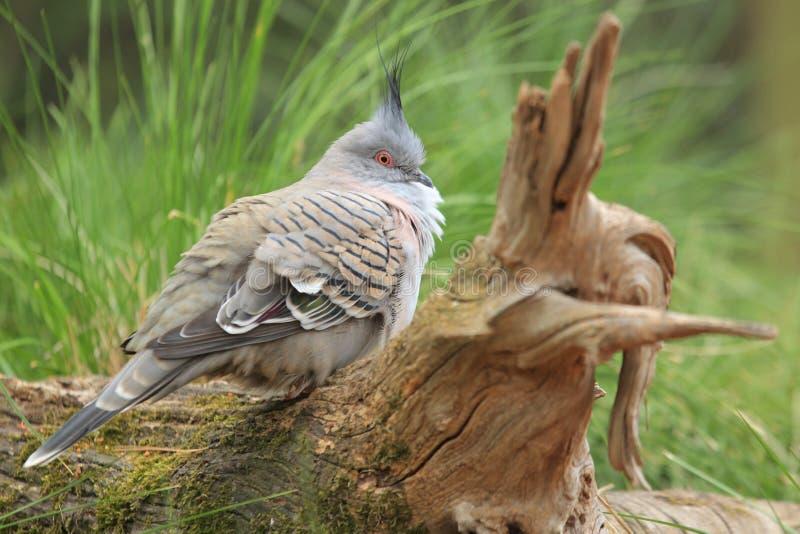 Pigeon crêté images stock