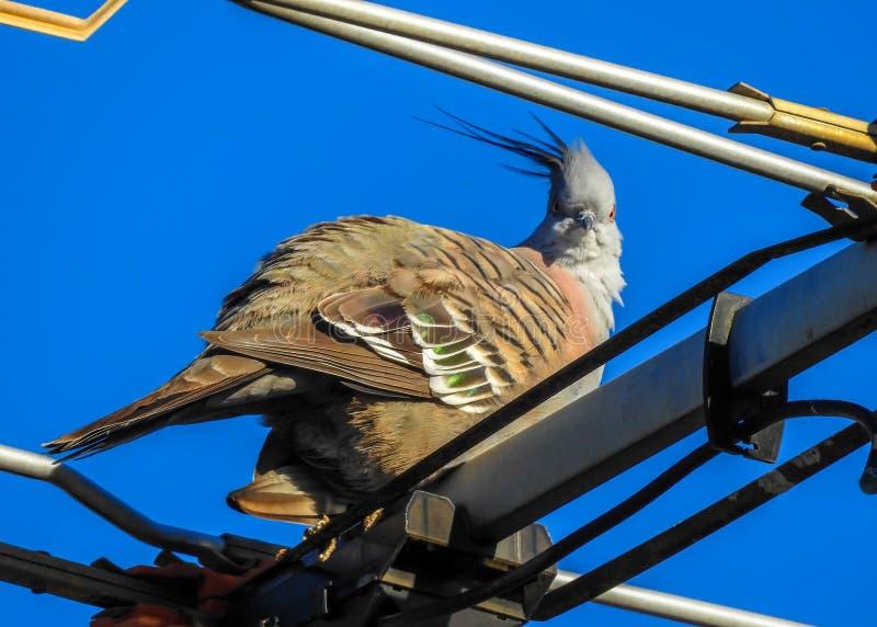 Pigeon crêté sur l'antena photographie stock