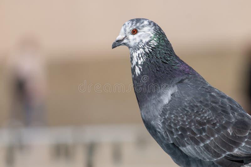 pigeon curieux sur une fontaine image stock