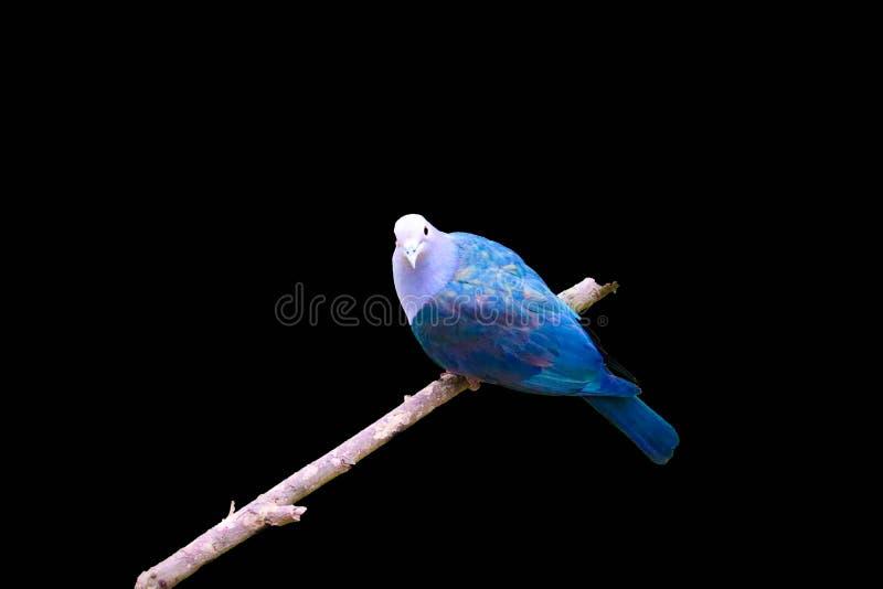 Pigeon d'isolement sur le fond noir photos stock