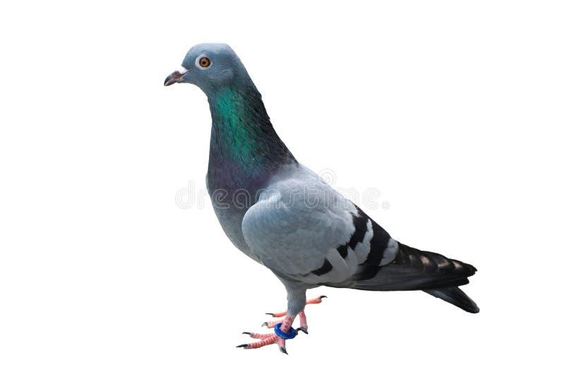 pigeon d'oiseau d'isolement sur vert-bleu sauvage sauvage de fond blanc images libres de droits