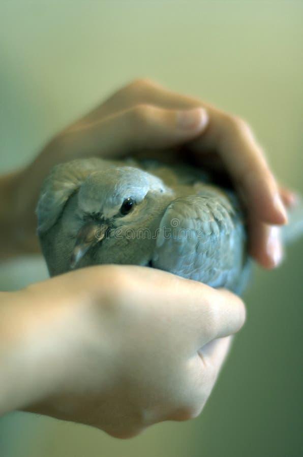 Pigeon dans la main d'une fille images libres de droits