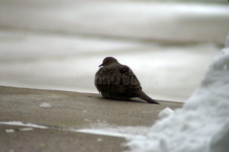 Pigeon dans la neige froide images stock