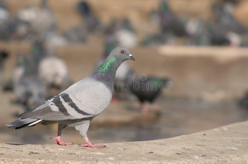 Pigeon dans la ville photo stock