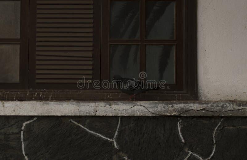 Pigeon dans une fenêtre avec des lignes photos stock