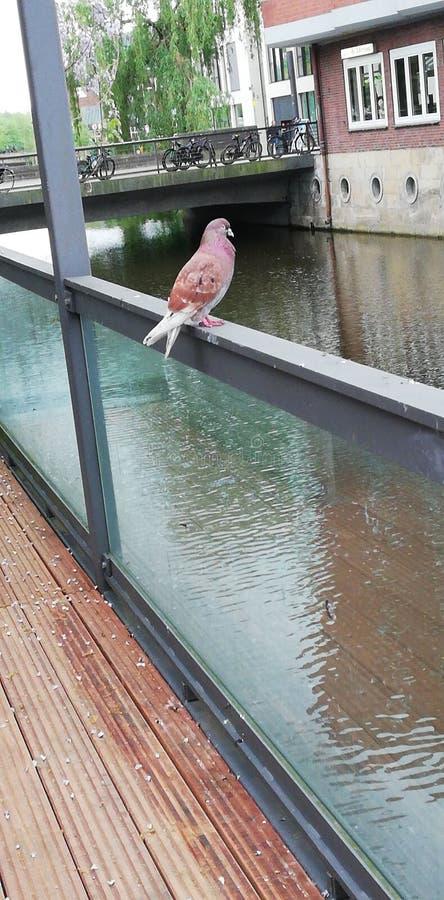 Pigeon de Brown photographie stock libre de droits