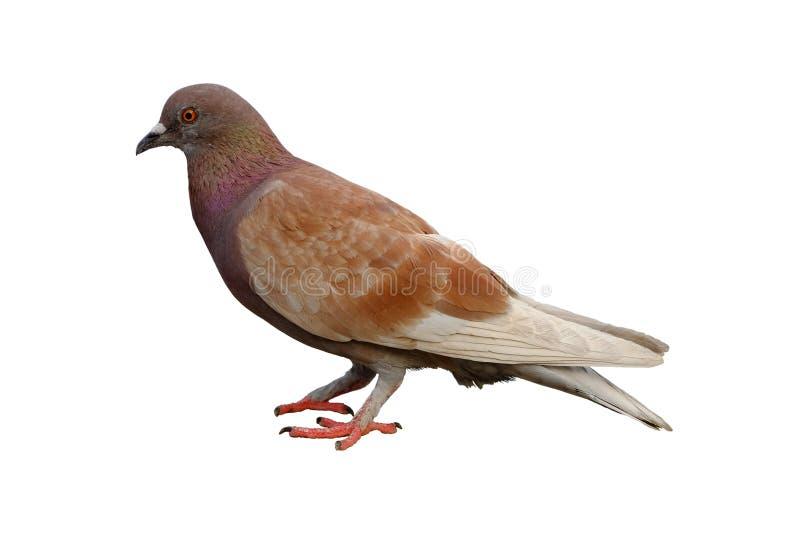 Pigeon de Brown d'isolement sur le fond blanc avec le chemin de coupure photos libres de droits