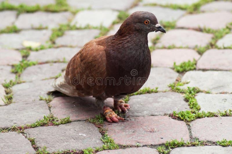 Pigeon de Brown marchant sur l'endroit de pavé rond photo stock