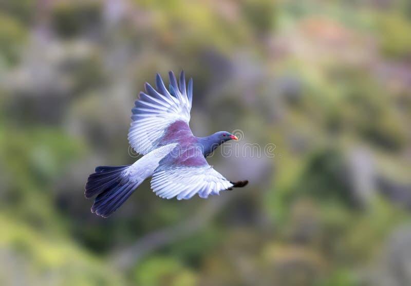 Pigeon de Chatham, chathamensis de Hemiphaga images libres de droits