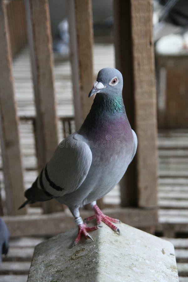 Pigeon de chemin photographie stock
