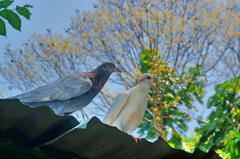 pigeon de couples images libres de droits