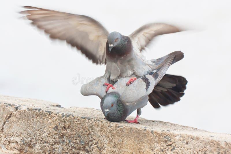Pigeon dans l'amour images libres de droits