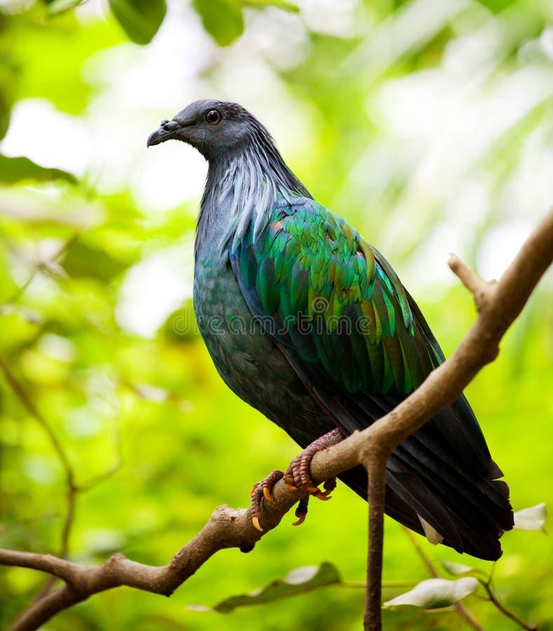 Pigeon de Nicobar image stock