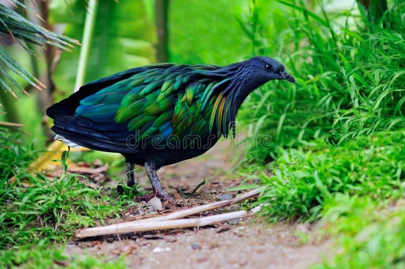 Pigeon de Nicobar images libres de droits