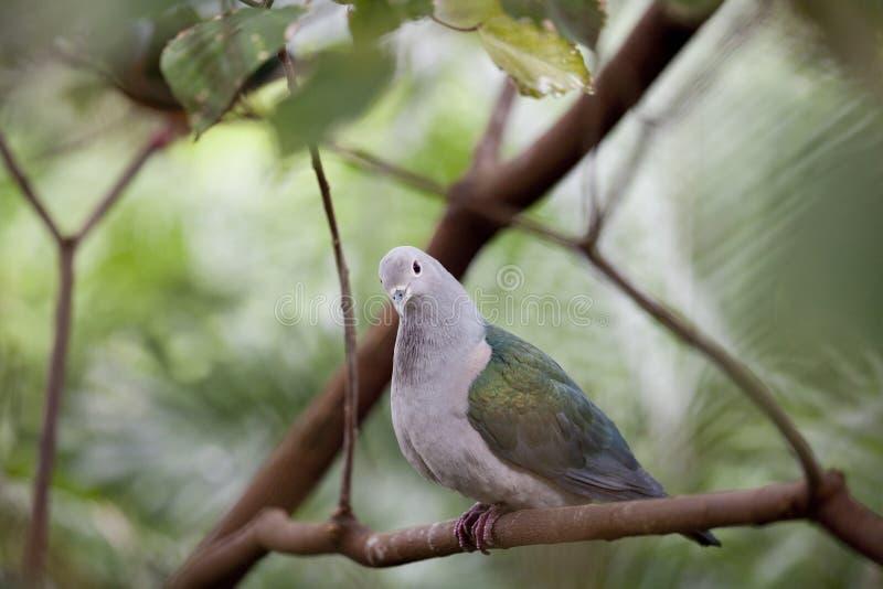 Pigeon de Nicobar photos stock