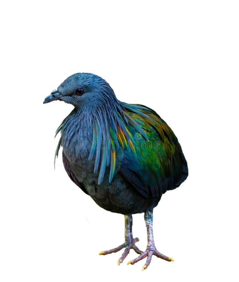 Pigeon de Nicobar photographie stock libre de droits