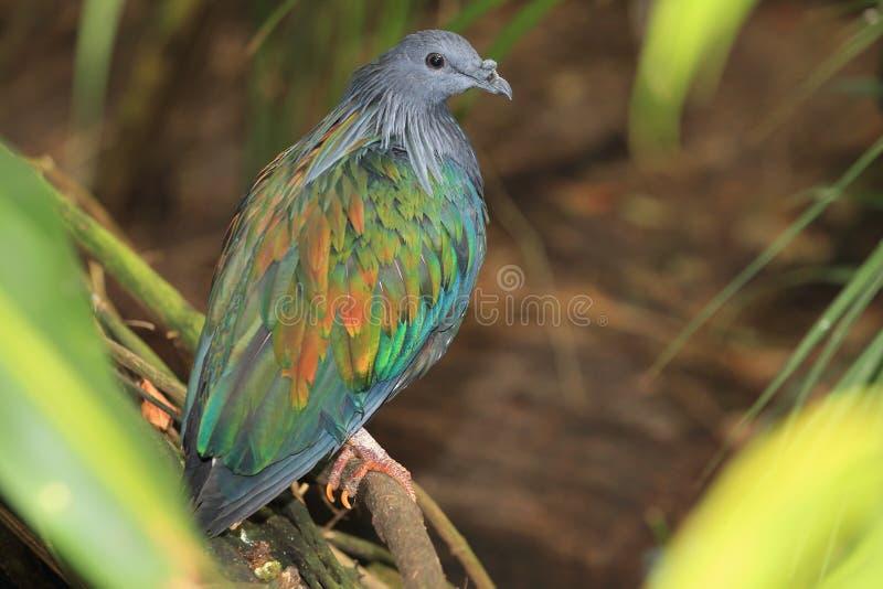 Pigeon de Nicobar photos libres de droits