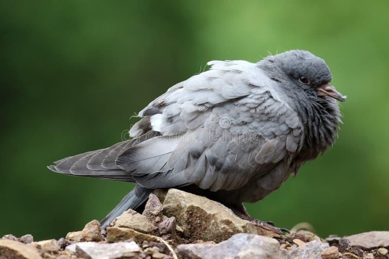 Pigeon de roche photo stock