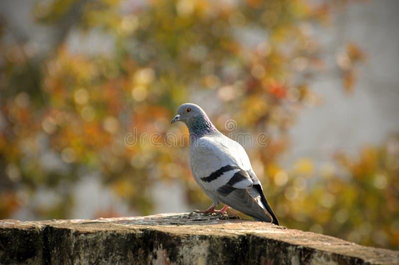Pigeon de roche image libre de droits