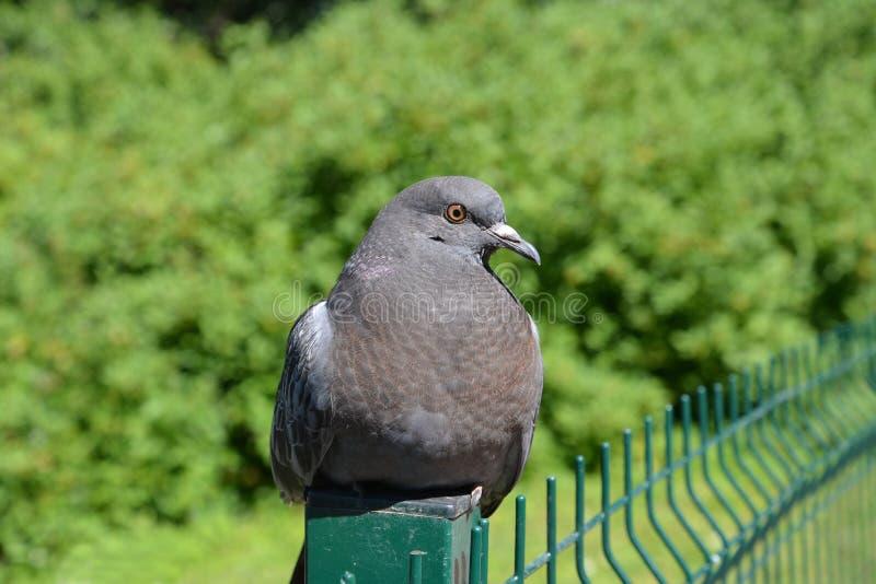 Pigeon de roche bleue colomba livia Gmelin, portrait dans un semi-profil photos stock