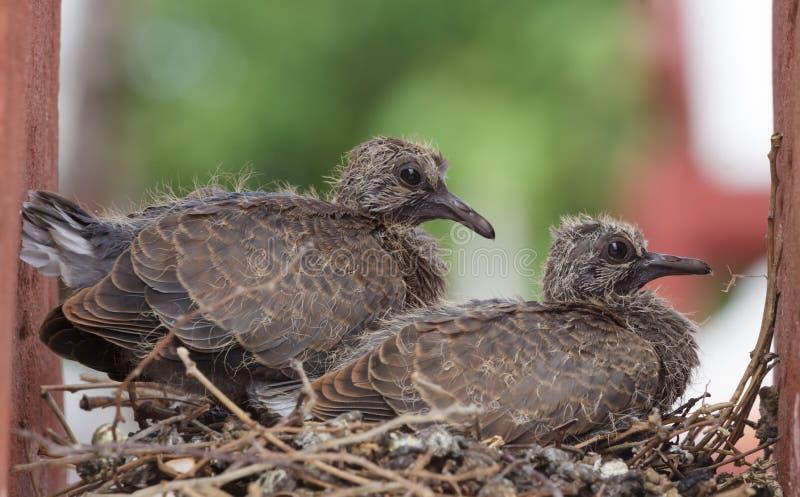Pigeon de roche de deux jeunes images stock