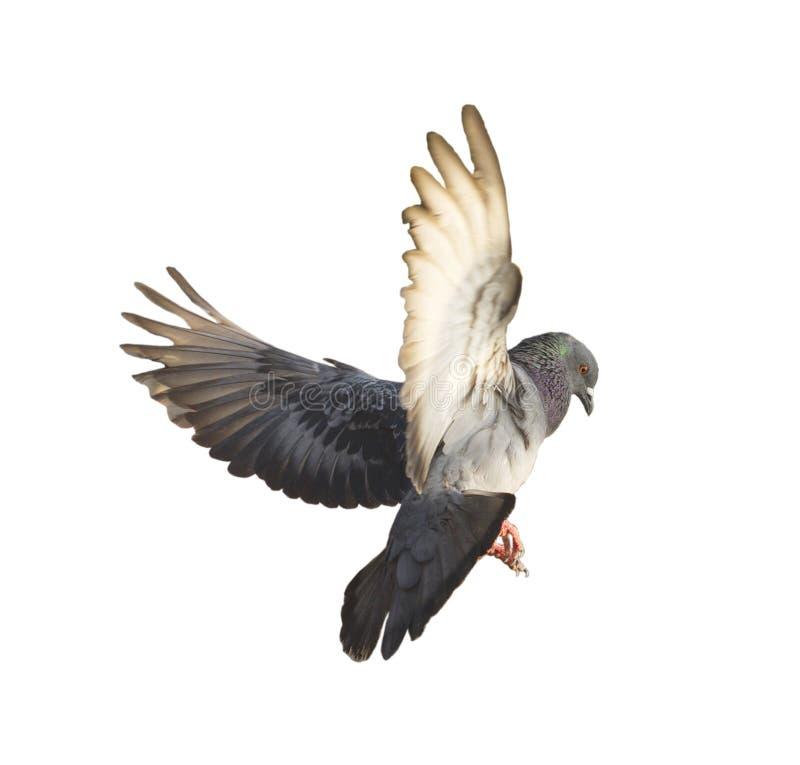 Pigeon de vol d'isolement image libre de droits