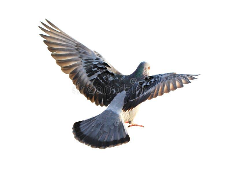 Pigeon de vol d'isolement photo stock