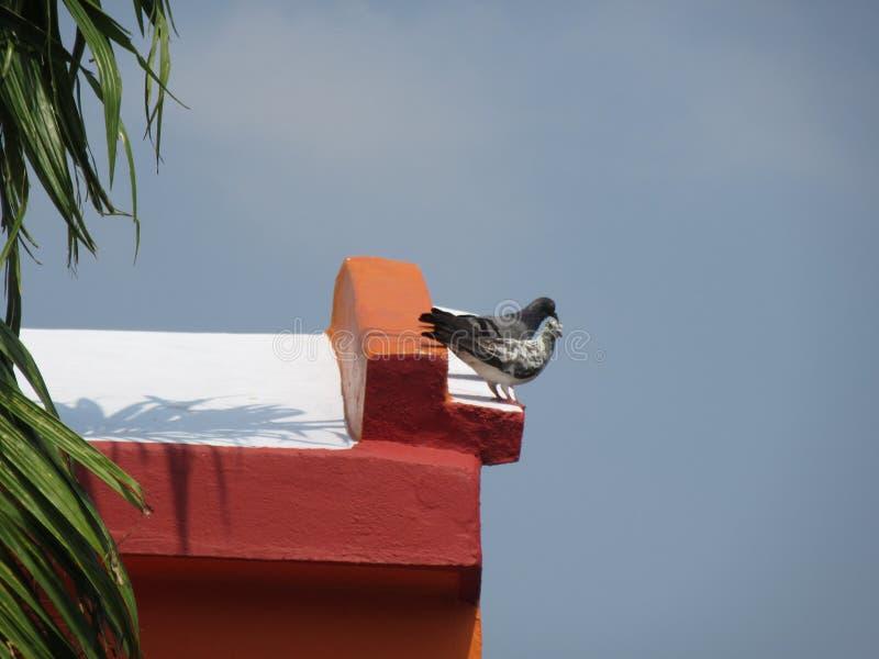 Pigeon deux photographie stock libre de droits