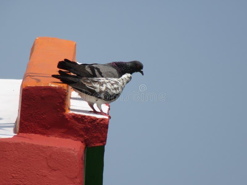 Pigeon deux photos libres de droits