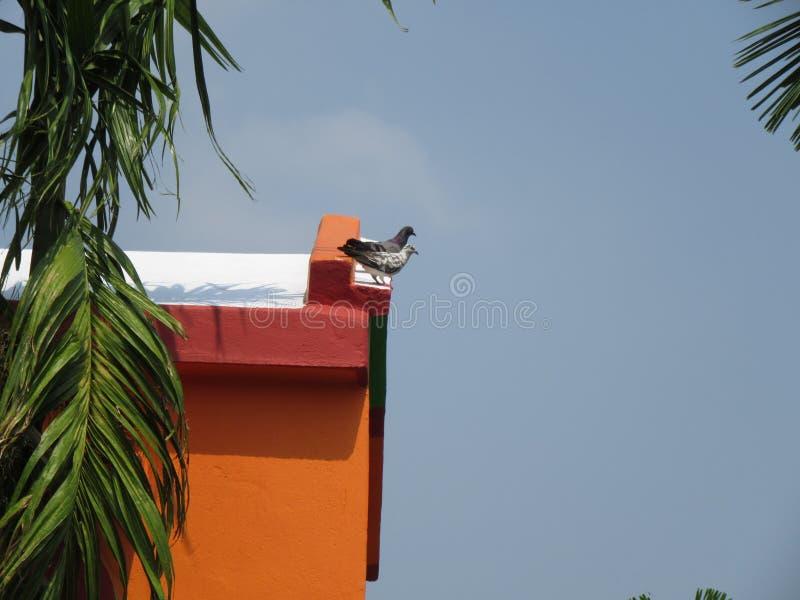 Pigeon deux photos stock