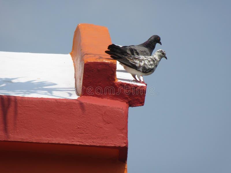 Pigeon deux photo libre de droits