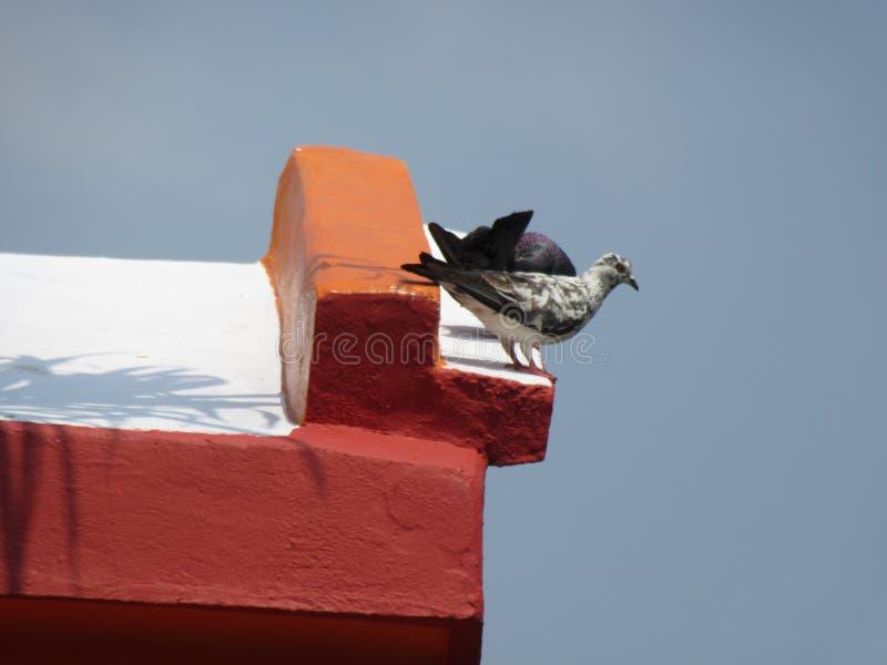 Pigeon deux photographie stock